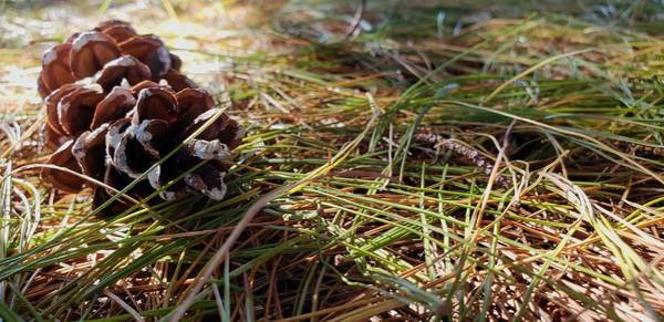 Photograph - Lone Pine Cone  by Karen Harrison