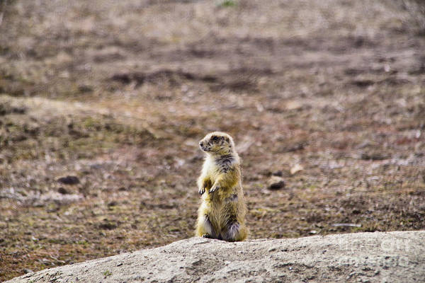 Wall Art - Photograph - Lone Prairie Dog Near Its Hole by Jeff Swan