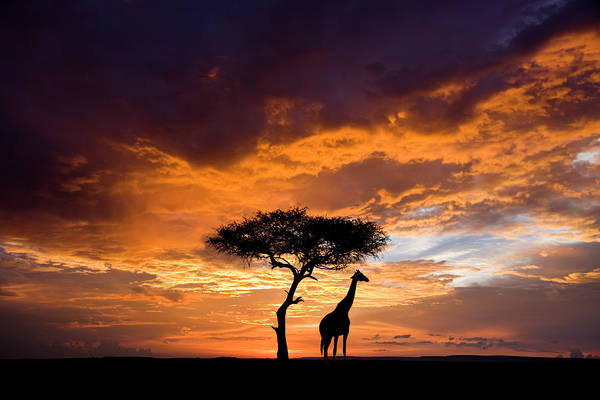 Silhouette Photograph - Lone Silhouetted Tree & Giraffe  At by Darrell Gulin
