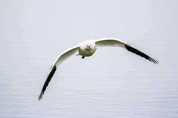 Photograph - Lone Snow Goose by TL Mair