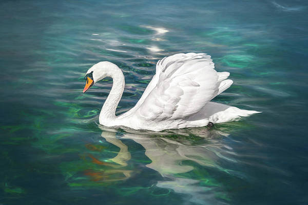Wall Art - Photograph - Lone Swan Lake Geneva Switzerland by Carol Japp