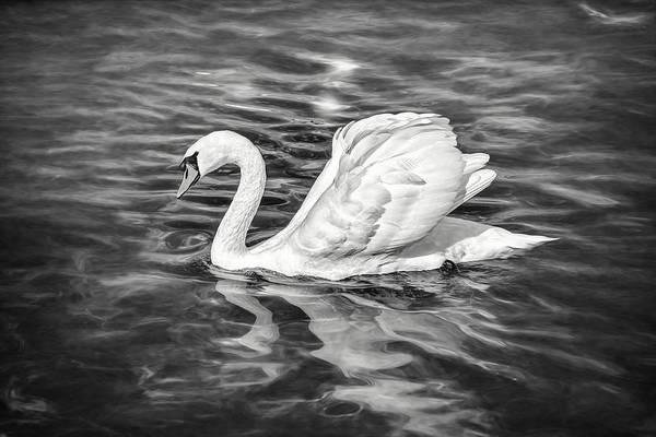Wall Art - Photograph - Lone Swan Lake Geneva Switzerland In Black And White by Carol Japp