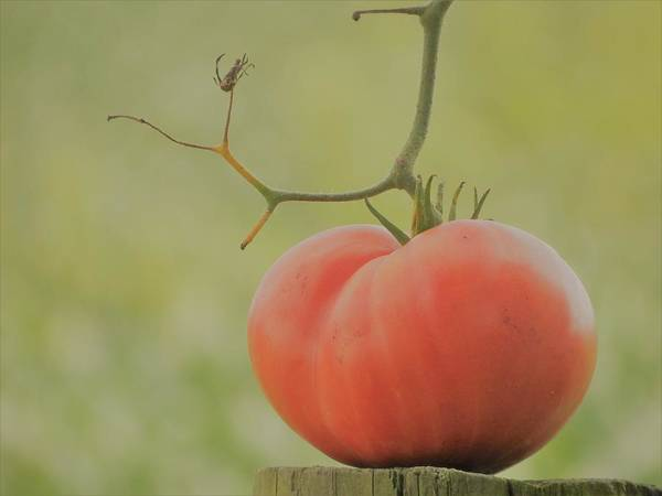 Photograph - Lone Tomato by Tina M Wenger