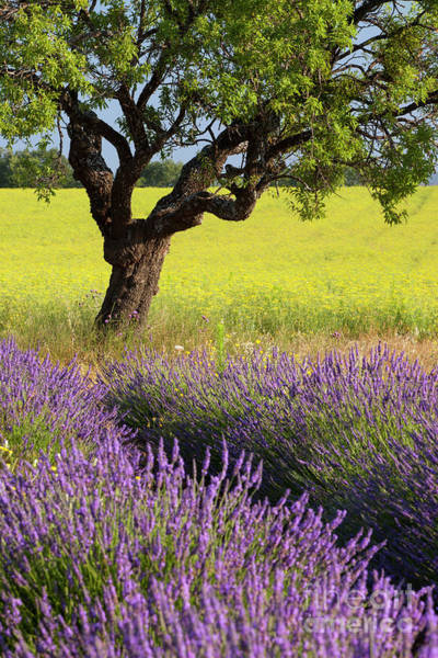 Photograph - Lone Tree In Lavender And Mustard Fields by Brian Jannsen