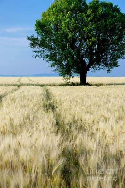 Photograph - Lone Tree - Provence by Brian Jannsen