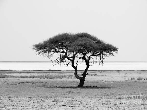 Wall Art - Photograph - Lonely Acacia Tree In Etosha National by Pyty