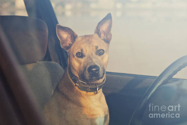 Funny Car Wall Art - Photograph - Lonely Dog Waiting In The Car by Maria Komar