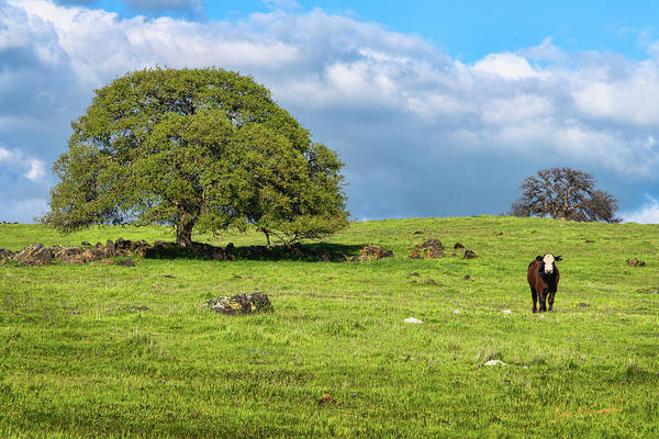 Photograph - Lonely Steer by Dan McGeorge