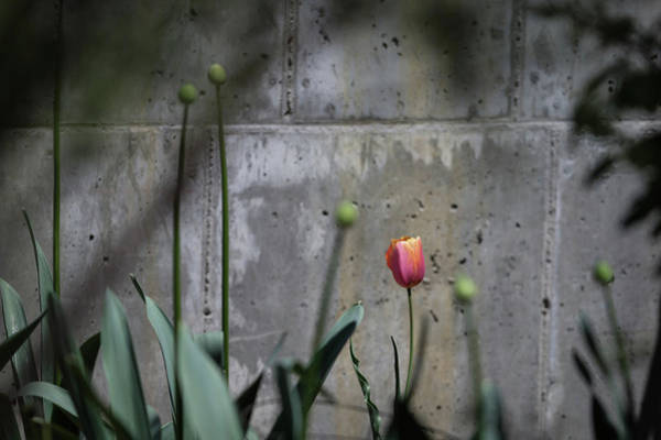 Wall Art - Photograph - Lonely Tulip  by Catherine Lau