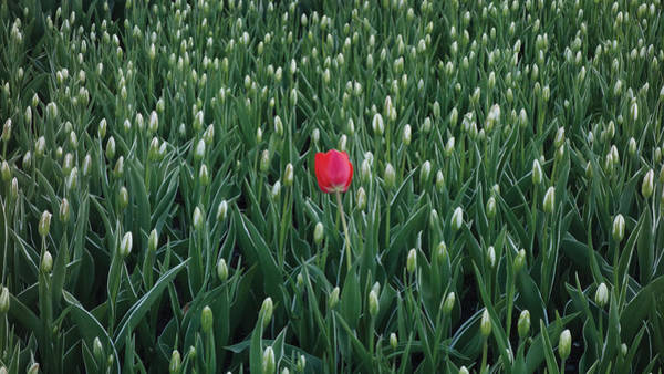 Wall Art - Photograph - Lonely Tulip by Enrique Guzman
