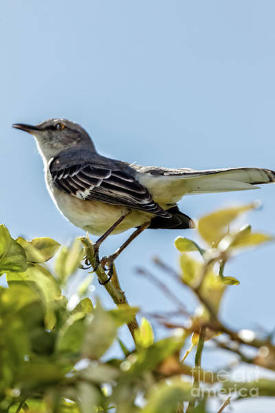 Wall Art - Photograph - Lonesome  Mockingbird  by Robert Bales