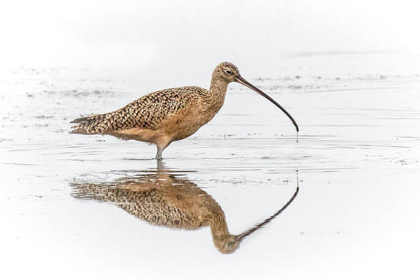 Photograph - Long-billed Curlew by James Capo