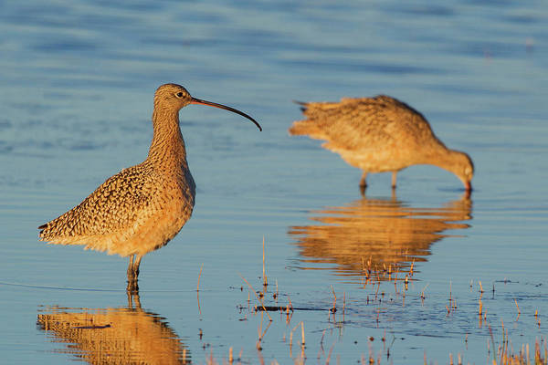 Forage Wall Art - Photograph - Long-billed Curlew Pair Foraging by Ken Archer