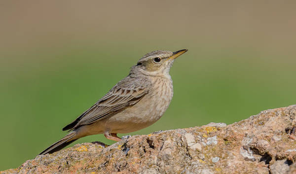 Wall Art - Photograph - Long Billed Pipit by Morris Finkelstein