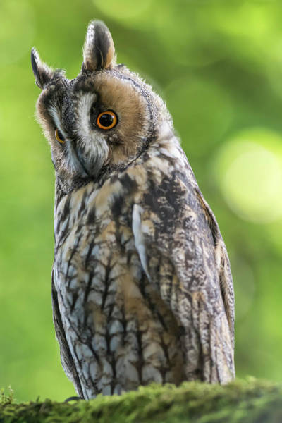 Wall Art - Photograph - Long-eared Owl  Asio Otus  At Roost by Uig