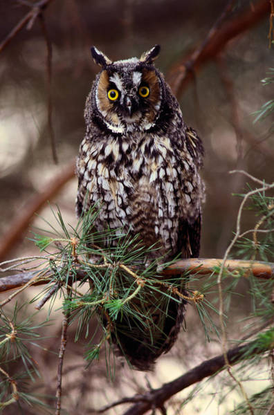 Branch Photograph - Long-eared Owl Asio Otus On Tree Branch by Art Wolfe