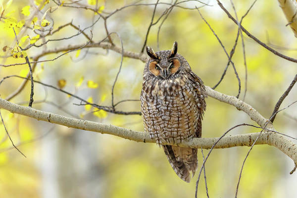 Photograph - Long Eared Owl by Ronnie and Frances Howard