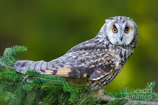 Forest Bird Photograph - Long-eared Owl Sitting On The Branch In by Ondrej Prosicky