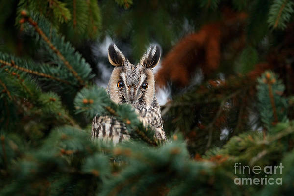 Wall Art - Photograph - Long-eared Owl Sitting On The Branch Of by Ondrej Prosicky