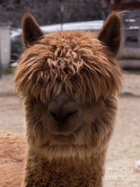 Photograph - Long Haired Alpaca Face by Christy Garavetto