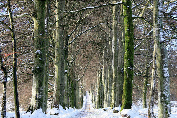 Photograph - Long, Snowy Tree-lined Avenue Of Beech by Kathy Collins