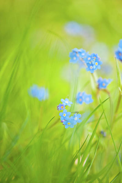 Forget Me Not Photograph - Long, Sunlit Grass And Forget-me-not by Kathy Collins