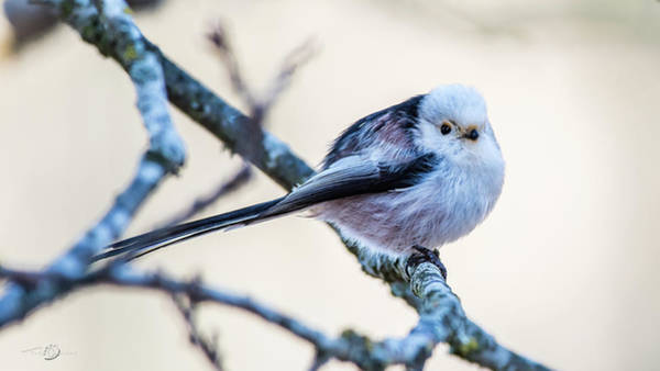 Photograph - Long Tailed Tit Perching On A Twig by Torbjorn Swenelius