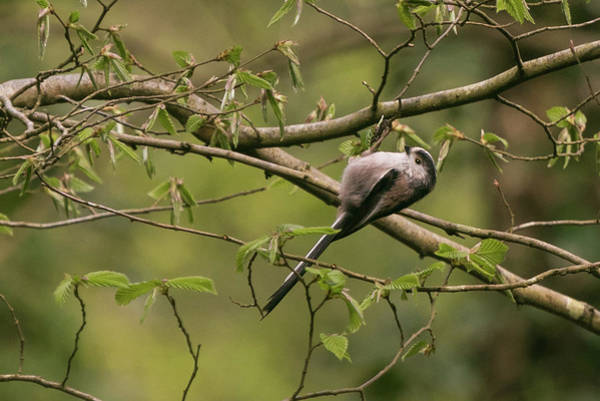 Photograph - Long Tailed Tit by Wendy Cooper
