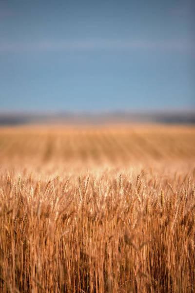 Photograph - Long Wheat by Todd Klassy