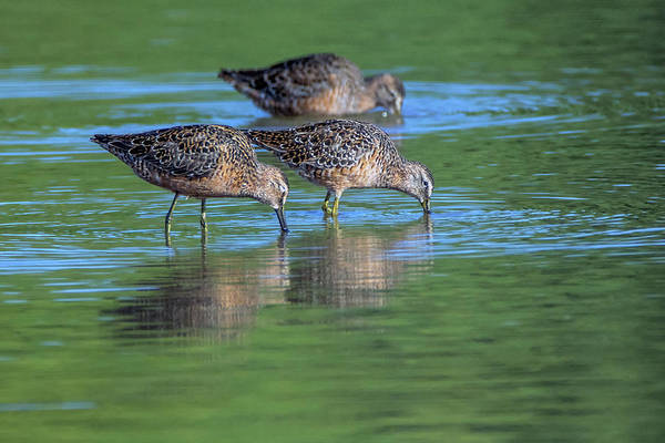 Photograph - Longbilled Dowitchers 7694-042119 by Tam Ryan
