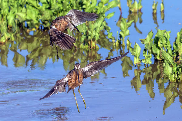 Photograph - Longbilled Dowitchers 7707-042119 by Tam Ryan