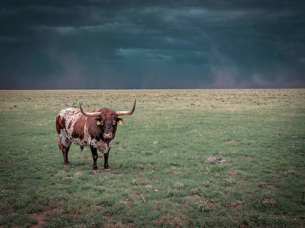 Photograph - Longhorn In The Wind by Laura Hedien