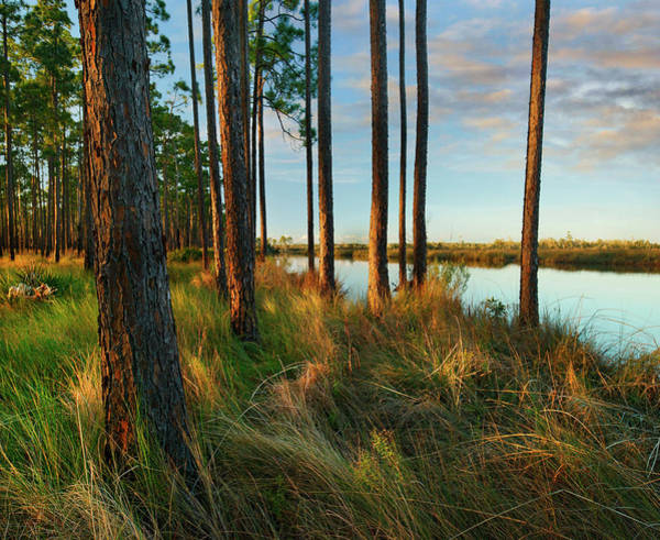 Wall Art - Photograph - Longleaf Pines, Sopchoppy River by Tim Fitzharris