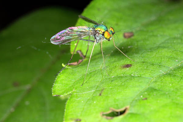 Photograph - Longlegged Fly Condylostylus by Rick Veldman