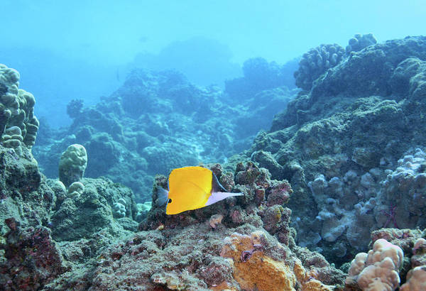 Photograph - Longnose Butterfly Fish by Anthony Jones