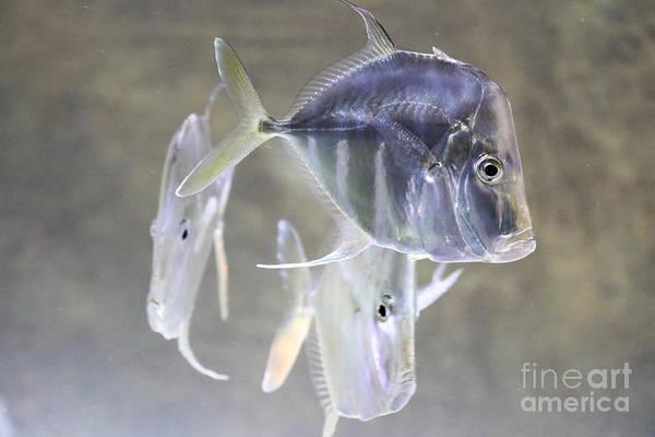 Dour Photograph - Lookdown Fish  by Rachel Morrison