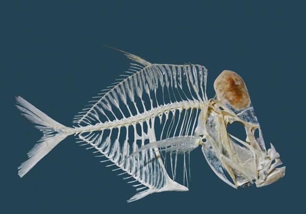 Photograph - Lookdown Fish Skeleton by Millard H. Sharp