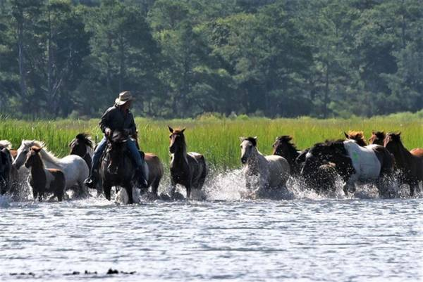 Photograph - Looking Back - Chincoteague Pony Run by Kim Bemis