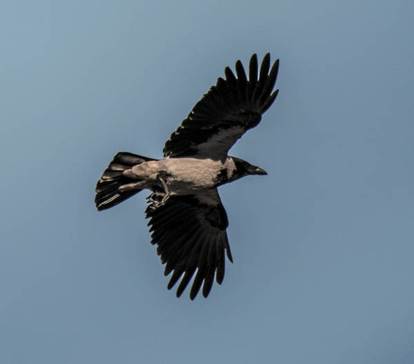 Photograph - Looking Up At Flying Hooded Crow by William Bitman