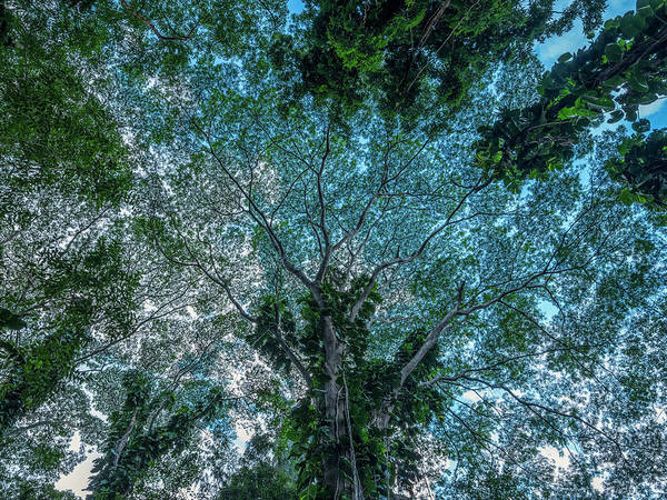 Wall Art - Photograph - Looking Up Into The Canopy Of Trees by Robert Postma