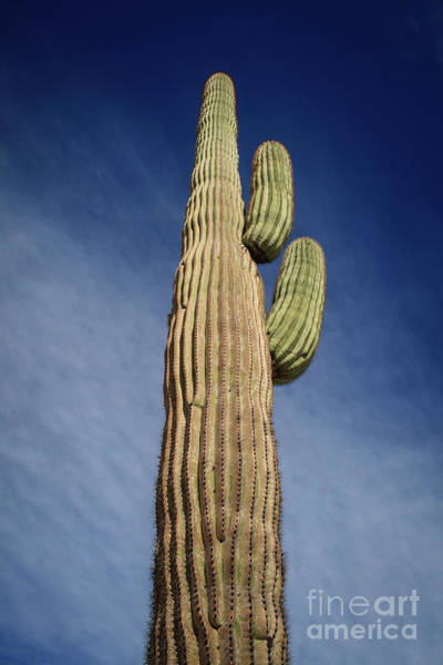 Wall Art - Photograph - Looking Up The Saguaro by Robert Bales