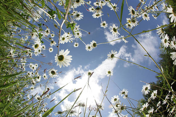 Fish Eye Lens Photograph - Looking Up Through Daisies To A Blue Sky by Peter Cade
