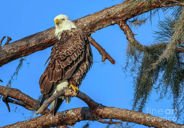 Photograph - Lookout Eagle by Tom Claud