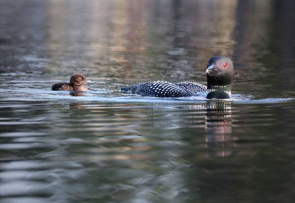 Wall Art - Photograph - Loon And Chick At Dawn by Sandra Huston