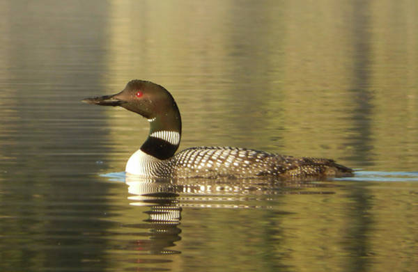 Photograph - Loon by Philip Rispin