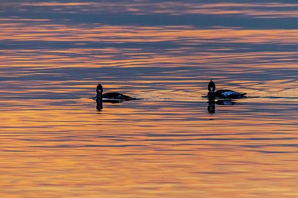 Photograph - Loons Of The Lake by Terri Hart-Ellis