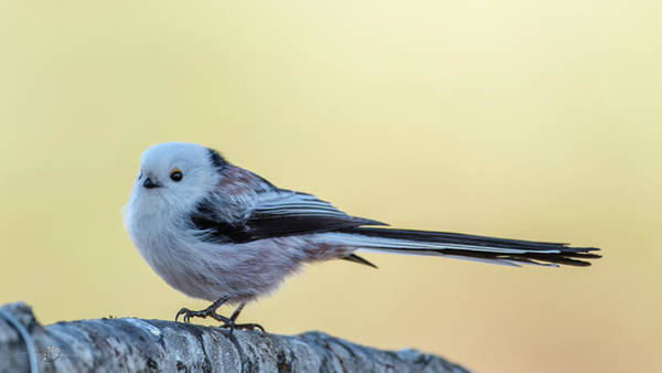 Photograph - Looong Tailed Tit by Torbjorn Swenelius