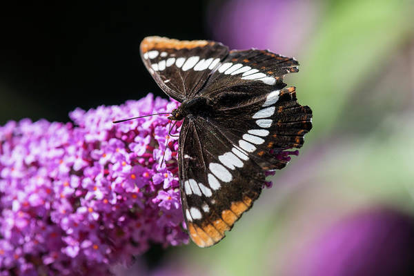 Photograph - Lorquin's Admiral by Robert Potts
