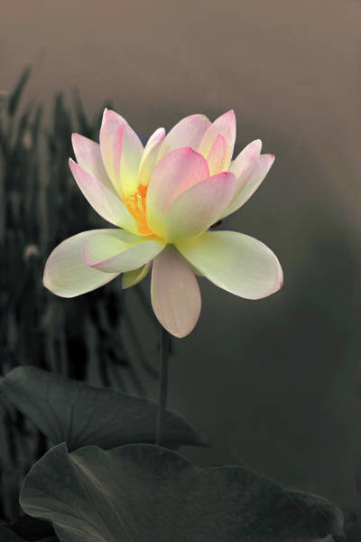 Pink Lotus Flower Photograph - Lotus Alight by Jessica Jenney