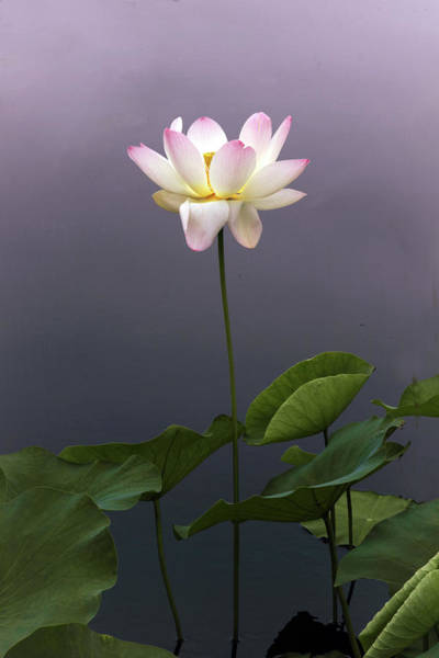 Pink Lotus Flower Photograph - Lotus Ascending by Jessica Jenney